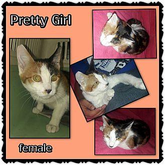 Calico Cat for adoption in Richmond, California - Pretty Girl
