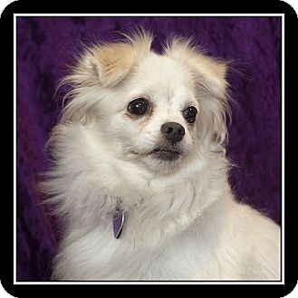 Pomeranian/Maltese Mix Dog for adoption in San Diego, California - Mia