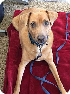 Basenji/Rat Terrier Mix Dog for adoption in Phoenix, Arizona - Benji