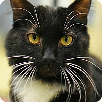 Domestic Shorthair Cat for adoption in Aiken, South Carolina - Sweat Pea