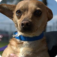Chihuahua Mix Dog for adoption in Lemoore, California - Sofa King