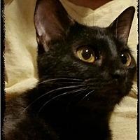 Adopt A Pet :: Viserys - Middleburg, FL
