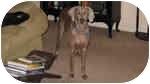 Weimaraner Dog for adoption in Eustis, Florida - Savannah  **ADOPTED**