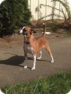 Chihuahua Mix Dog for adoption in Tumwater, Washington - Mary