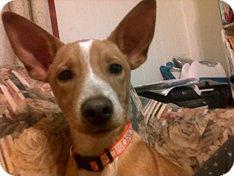 Terrier (Unknown Type, Medium) Mix Puppy for adoption in La Crosse, Wisconsin - Buddy