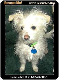 Maltese/Yorkie, Yorkshire Terrier Mix Dog for adoption in Boulder, Colorado - Prancer