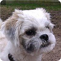 Adopt A Pet :: Roko-VA - Mays Landing, NJ
