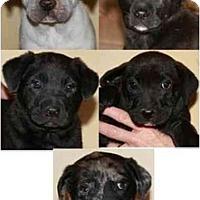 Adopt A Pet :: Laveen-Puppies Male - Gilbert, AZ