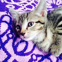 Domestic Shorthair Kitten for adoption in Miramar, Florida - Gypsy