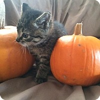 Adopt A Pet :: KITTENS-Courtesy - Oberlin, OH