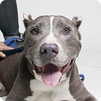 Adopt A Pet :: Blue Man - Fantastic dog! - Los Angeles, CA