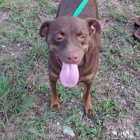 Pit Bull Terrier/Labrador Retriever Mix Dog for adoption in Decatur, Alabama - SPIDERMAN
