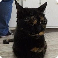 Domestic Shorthair Cat for adoption in Orleans, Vermont - Shelley
