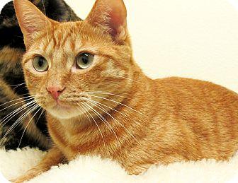 Domestic Shorthair Cat for adoption in Eastsound, Washington - Julius