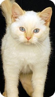 Siamese Cat for adoption in Newland, North Carolina - Tequila