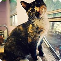 Adopt A Pet :: Clementine - Converse, TX