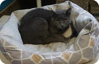 Domestic Shorthair Cat for adoption in West Des Moines, Iowa - Raquel