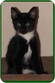 Domestic Shorthair Kitten for adoption in Orlando, Florida - Webster