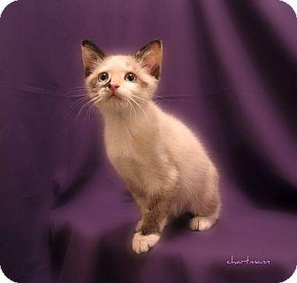 Domestic Shorthair Kitten for adoption in Richmond, Virginia - Sassafras & Sabrina