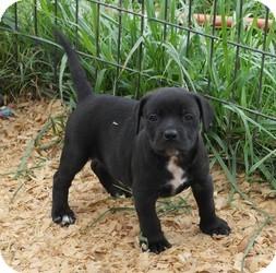 Labrador Retriever Mix Puppy for adoption in Seneca, South Carolina - Charolette