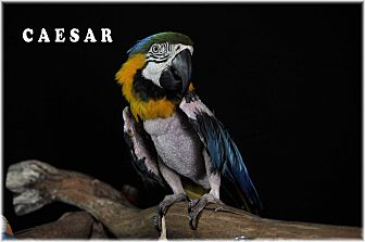 Macaw for adoption in Punta Gorda, Florida - Ceasar