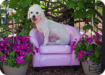 Toy Poodle Mix Dog for adoption in Colorado Springs, Colorado - Liberty