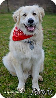 Great Pyrenees/Golden Retriever Mix Dog for adoption in Whitewright, Texas - Bowie