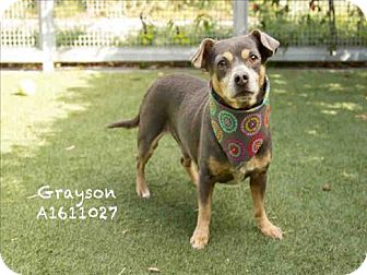 Miniature Pinscher/Chihuahua Mix Dog for adoption in Encino, California - Grayson