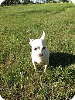 Chihuahua Dog for adoption in Fargo, North Dakota - Cleo