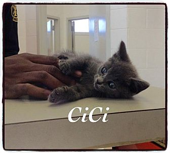 Domestic Shorthair Kitten for adoption in Dillon, South Carolina - CiCi