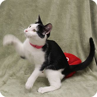 Domestic Shorthair Cat for adoption in McCormick, South Carolina - Abigail