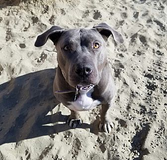 American Staffordshire Terrier Mix Dog for adoption in Palm Springs, California - Yogi