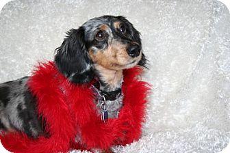 Dachshund Dog for adoption in Sioux Falls, South Dakota - Zeta