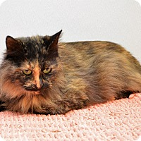 Domestic Mediumhair Cat for adoption in Channahon, Illinois - ADOPTED!!!   Star