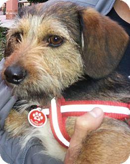 Corgi/Jack Russell Terrier Mix Dog for adoption in Thousand Oaks, California - Nico