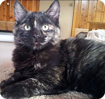 Domestic Mediumhair Kitten for adoption in Mountain Center, California - Briar Rose