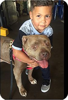 American Bulldog/American Staffordshire Terrier Mix Dog for adoption in Los Angeles, California - Gigi