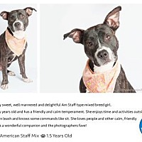 American Staffordshire Terrier Mix Dog for adoption in Pompano Beach, Florida - Gypsy