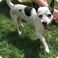 Adopt A Pet :: Billy - Tumwater, WA