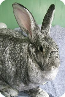 Flemish Giant Mix for adoption in Harrisburg, Pennsylvania - Ariel