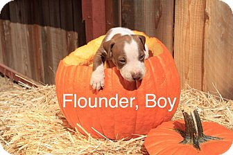 American Pit Bull Terrier Mix Puppy for adoption in Sonoma, California - Flounder