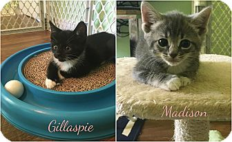 Hemingway/Polydactyl Kitten for adoption in Richmond, Virginia - Gillaspie and Madison