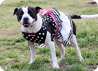 Boston Terrier Mix Dog for adoption in Waldorf, Maryland - Angel