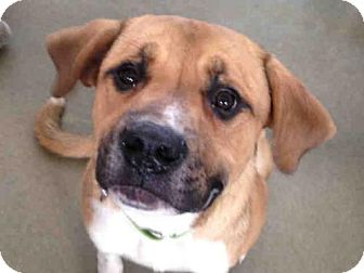 Boxer Mix Dog for adoption in Pittsburgh, Pennsylvania - CHAMP