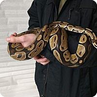 Adopt A Pet :: Nora - Aurora, IL