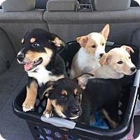 Adopt A Pet :: Mini Aussie/ Terrier Mix - Pottstown, PA