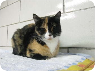 Calico Cat for adoption in Centerburg, Ohio - Salsa