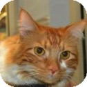Domestic Mediumhair Cat for adoption in Gilbert, Arizona - Taz