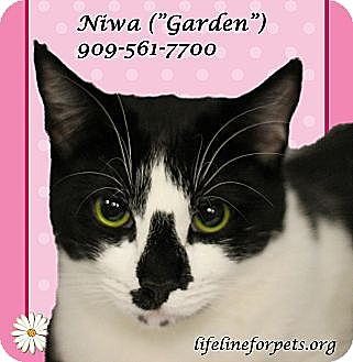 Domestic Shorthair Cat for adoption in Monrovia, California - A Young Female: NIWA