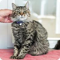 Domestic Mediumhair Cat for adoption in Houston, Texas - Eleanor